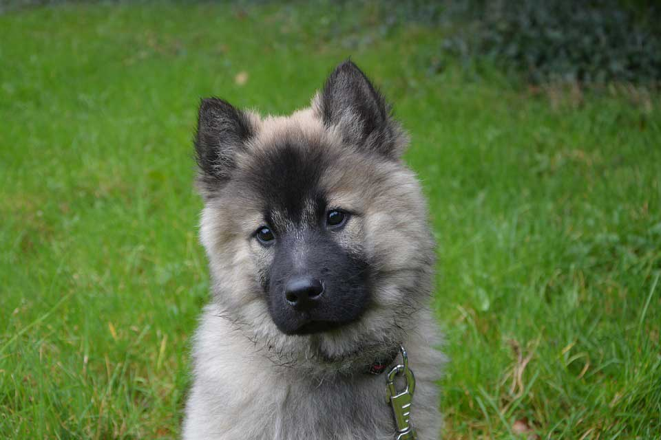 ANJING ELKHOUND NORWEGIA