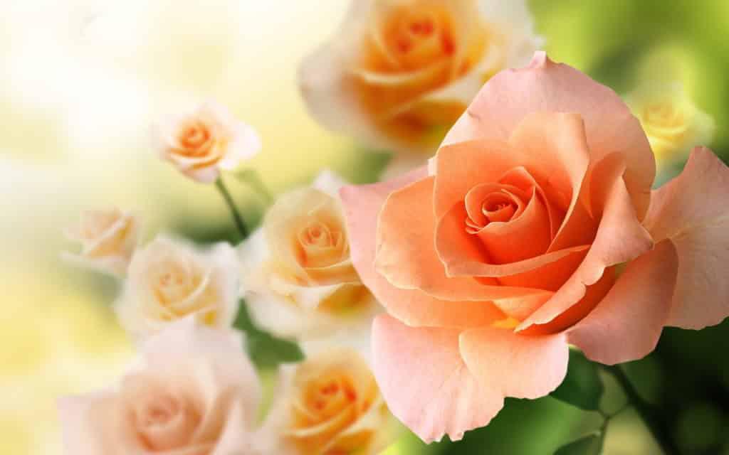 Gambar Bunga Mawar peach