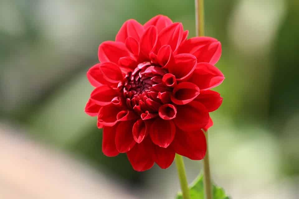 Gambar Bunga Merah