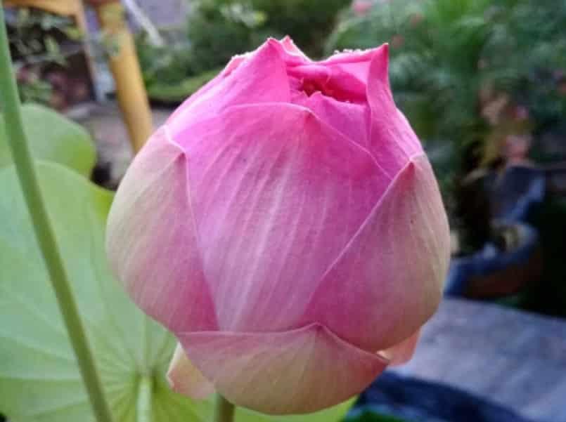 Gambar Bunga Seroja Kuncup