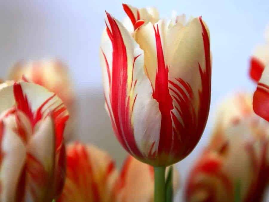 Gambar Bunga Tulip Merah Putih
