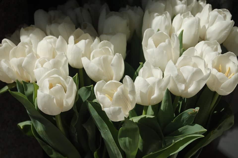 Gambar Bunga Tulip Putih