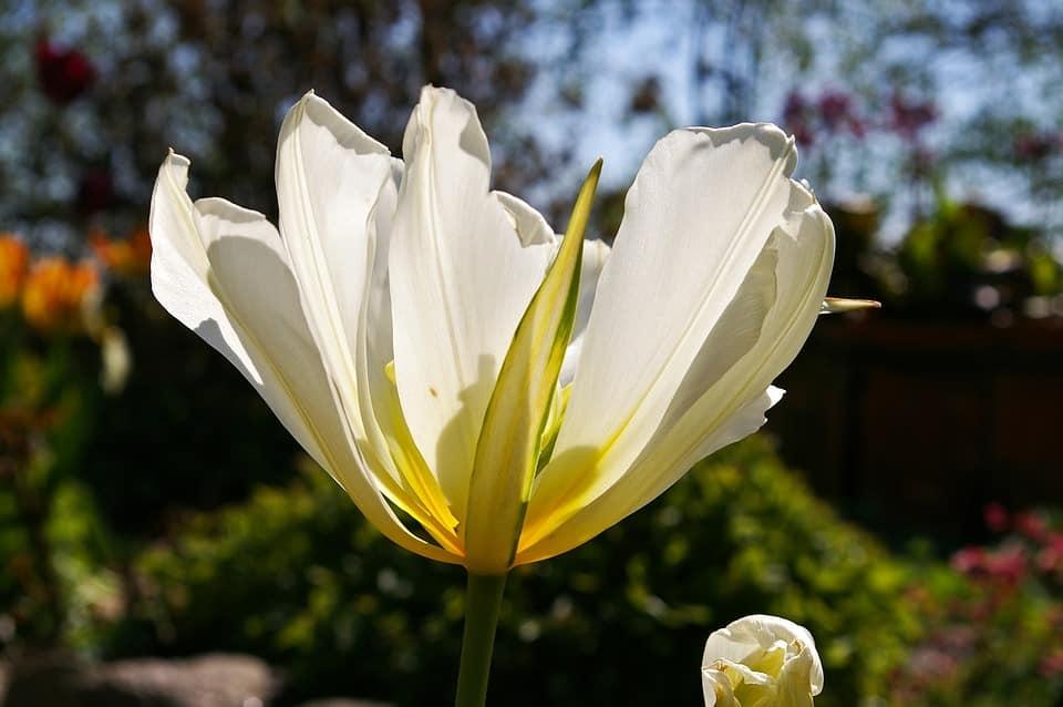 Gambar Bunga Tulip Putih Mekar