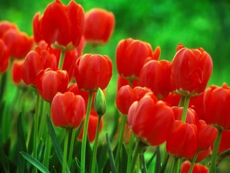 Gambar Bunga Tulip Putih Merah