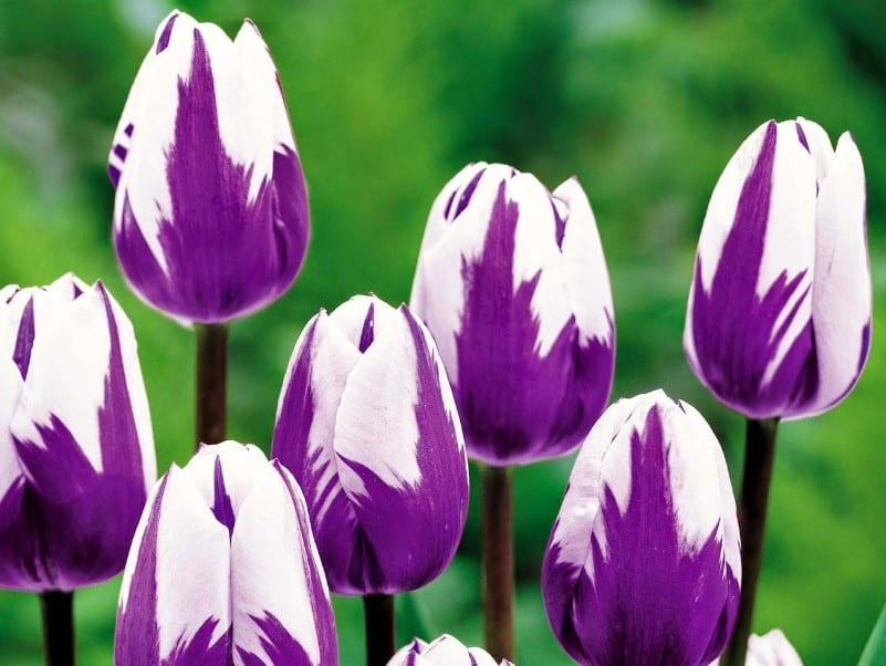 Gambar Bunga Tulip Ungu Putih