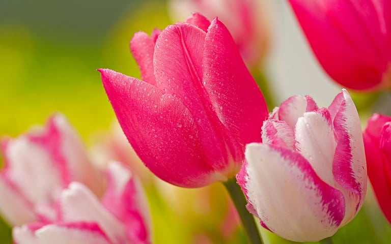Gambar Bunga Tulip merah Muda
