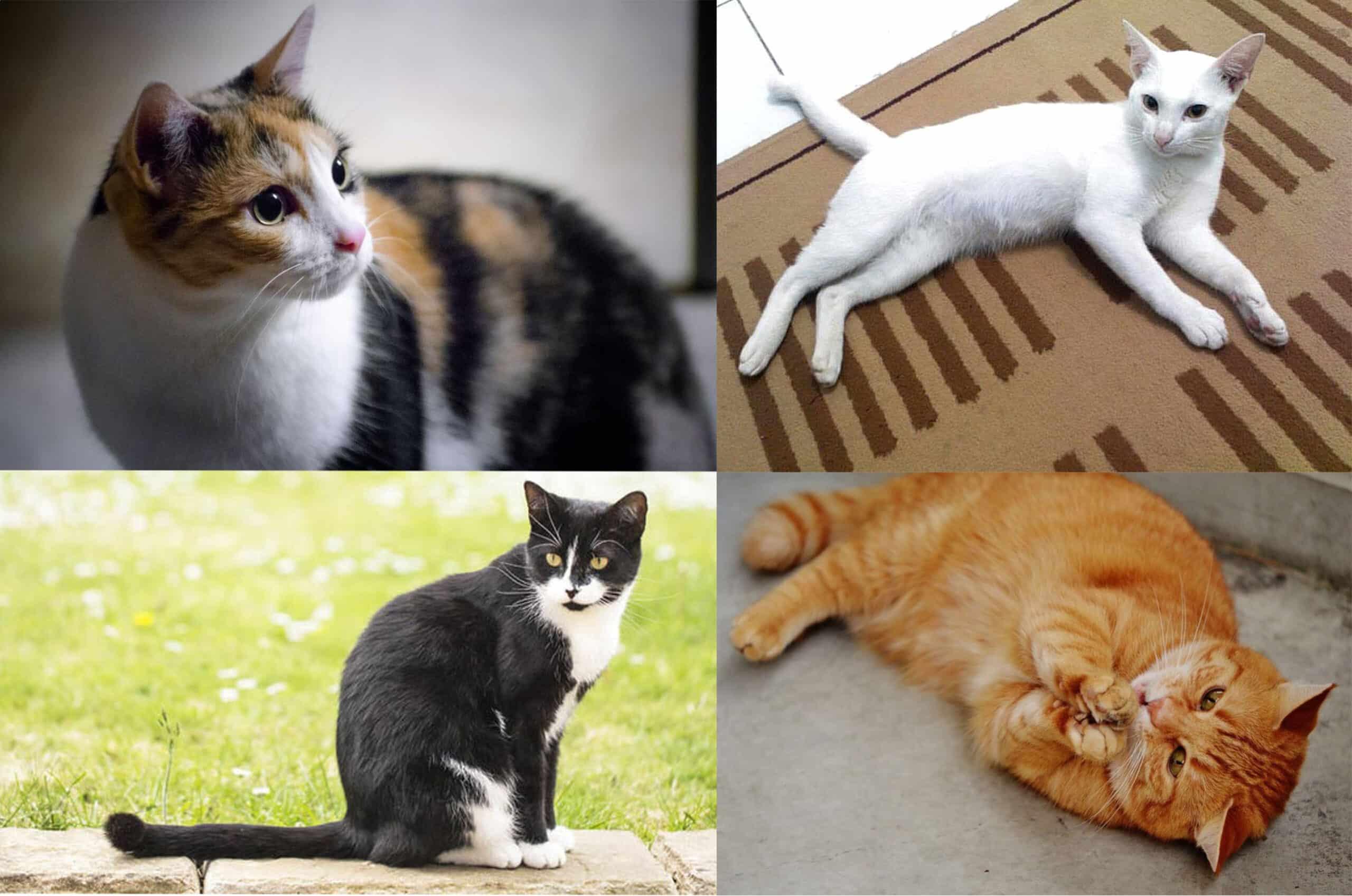 29 Jenis Jenis Kucing Yang Tersebar Di Seluruh Dunia Paling Populer