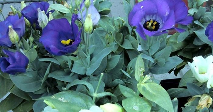 Bunga Lisianthus