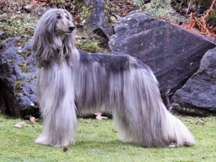 Anjing Afghan Hound
