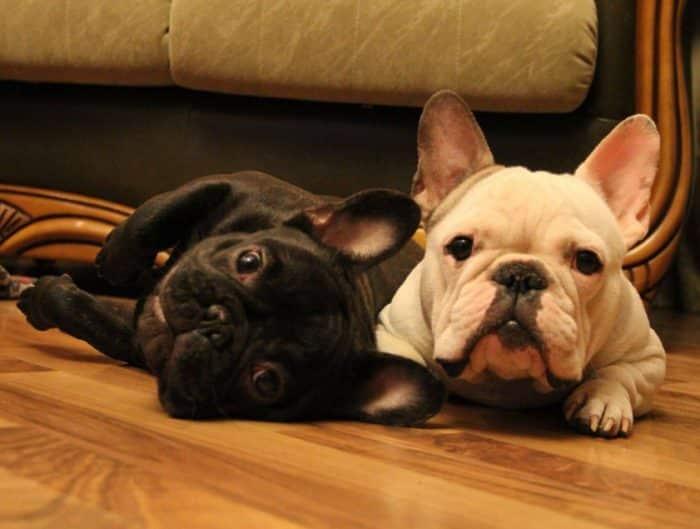 Anjing Bulldog Perancis