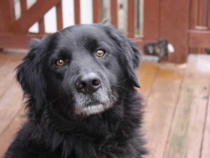 Anjing Newfoundland