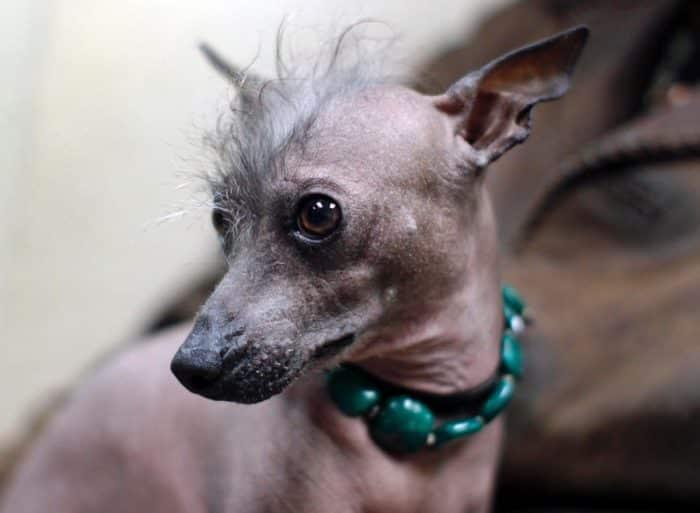 Anjing Pervian Inca Orchid