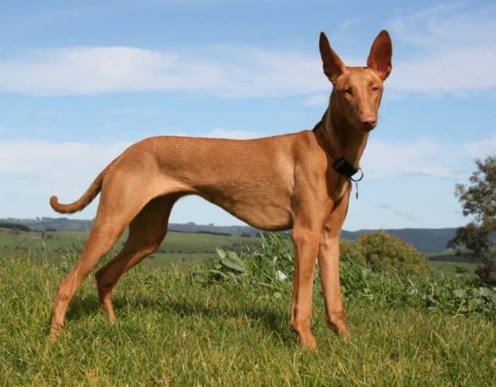 Anjing Pharaoh Houd