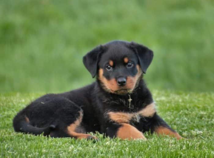 Anjing Rottweiller