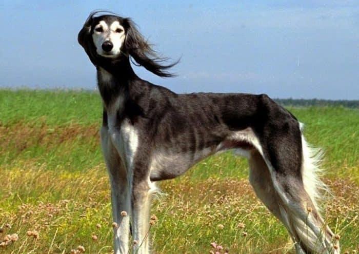Anjing Saluki