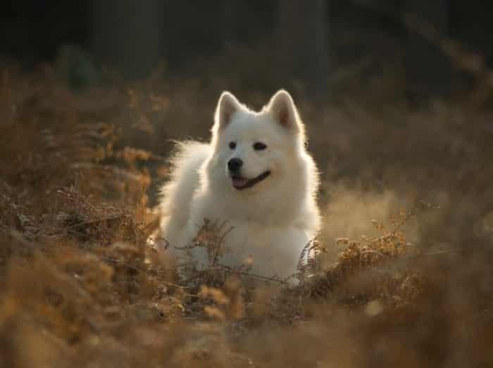 Anjing Samoyed