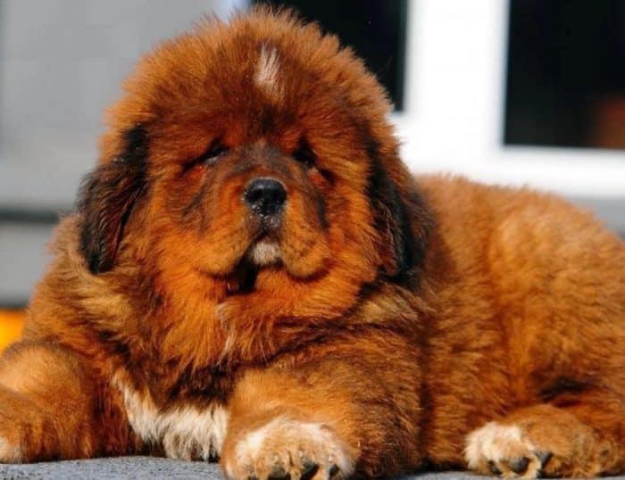 Anjing Tibetan Mastiff