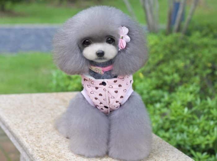 Berbagai Hal Yang Perlu Diperhatikan Sebelum Membeli Kandang Anjing Pudel