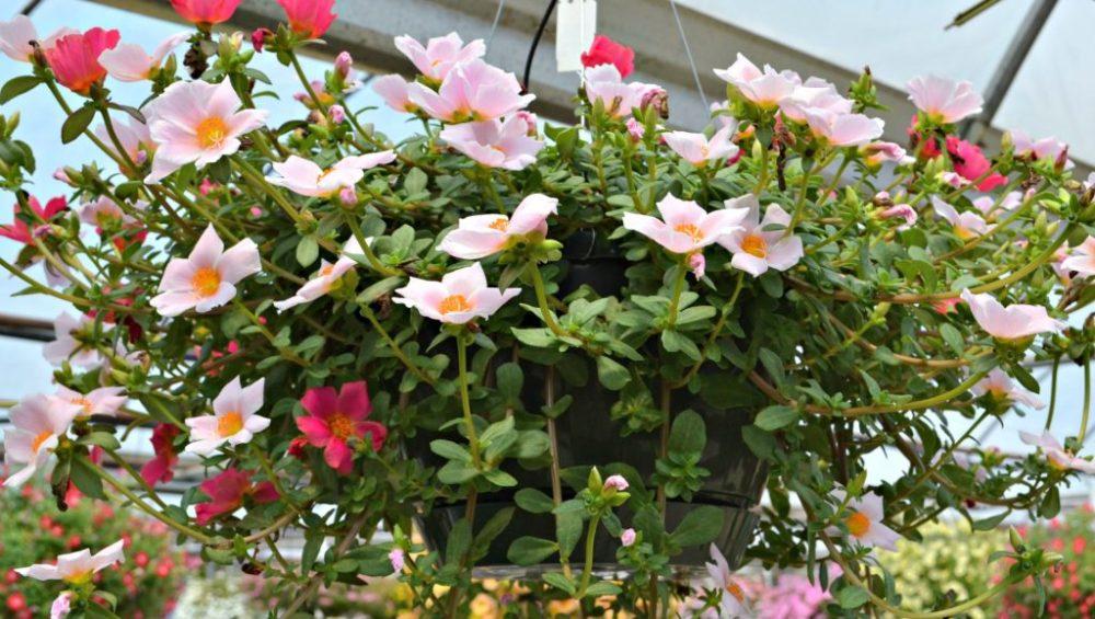 Bunga Pukul Sembilan atau Portulaca