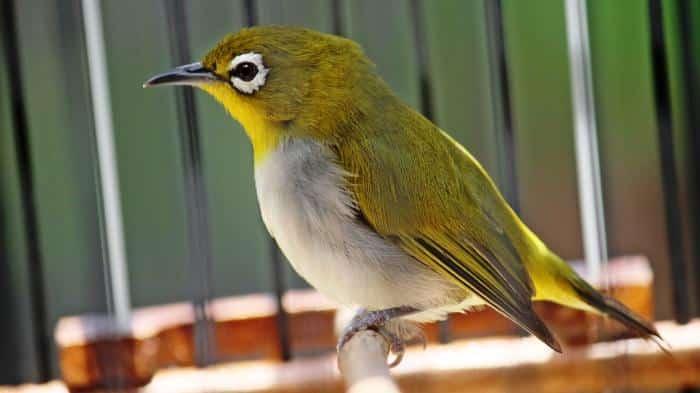 Burung Pleci Auriventer