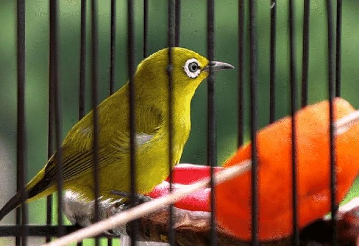 Burung Pleci Dakun Macok