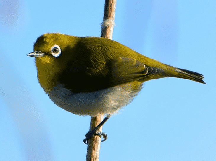 Burung Pleci Montanus