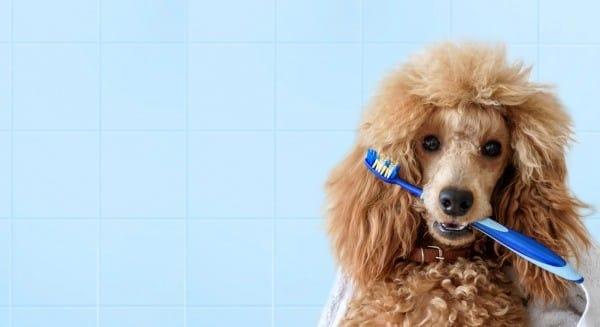 Cara Memandikan Anjing Pudel Dengan Benar