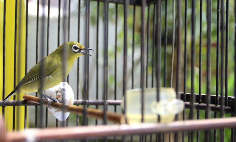 Cara Memilih Burung Pleci Terbaik Ketika Membelinya