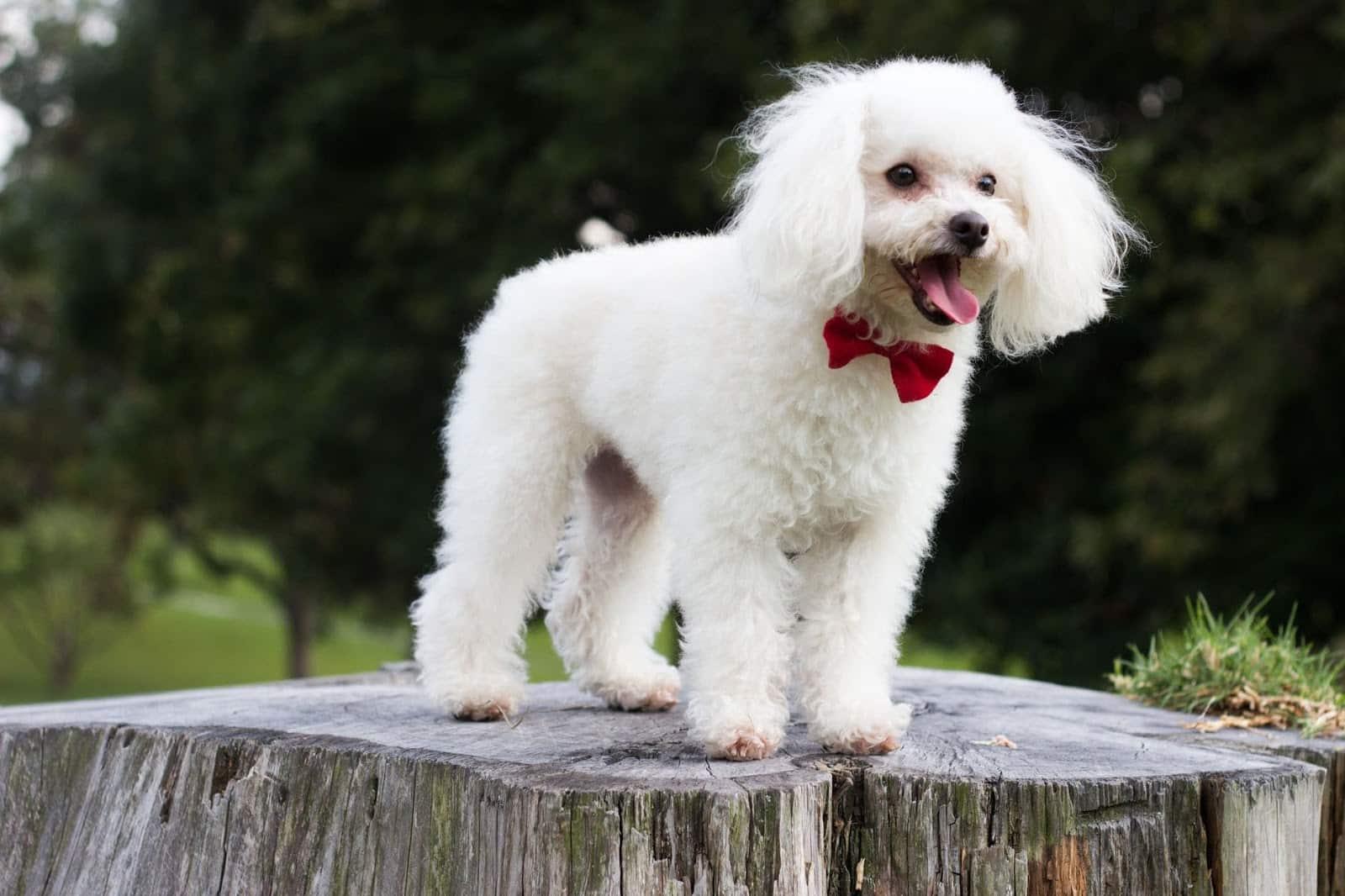 Cara Merawat Anjing Poodle Dewasa