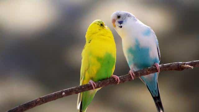 Cara Merawat Burung Kenari
