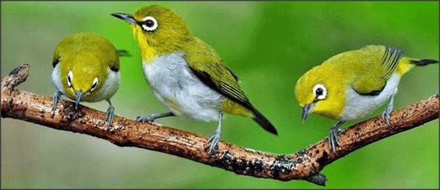 Cara Merawat Burung Pleci yang Sudah Dewasa