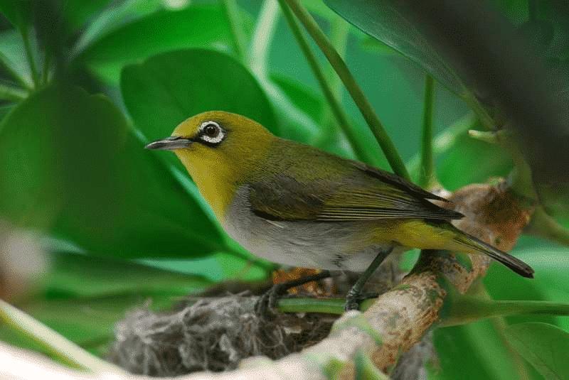 Cara Untuk Mengawinkan Burung Pleci dengan Benar