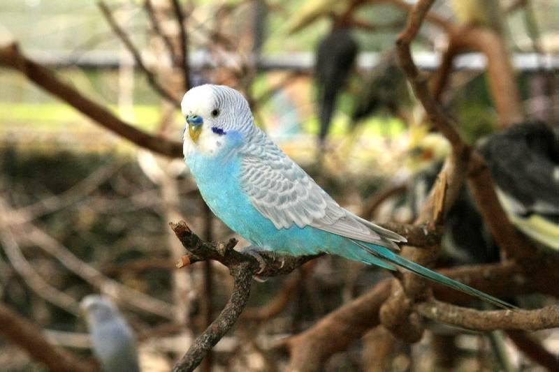 Cerita Fabel Raja Burung Parkit