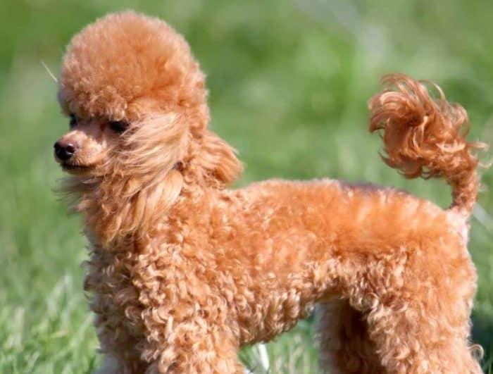Ciri-Ciri Anjing Pudel