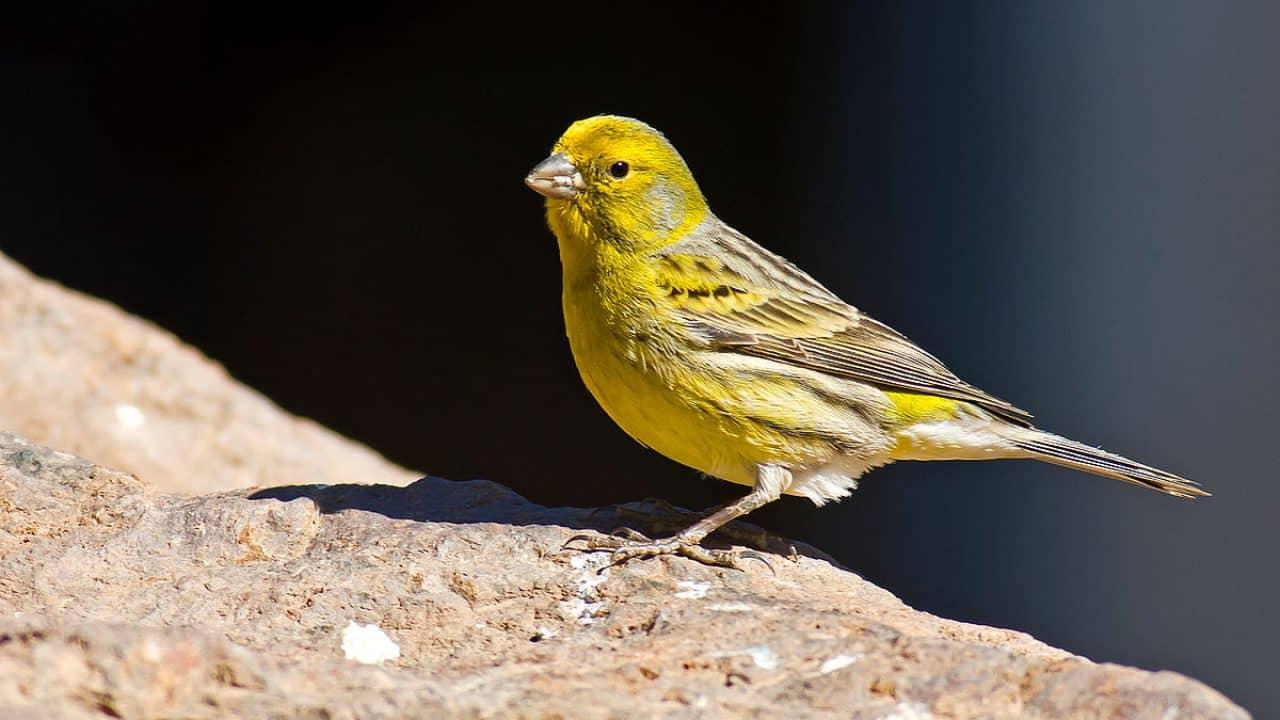 Burung Kenari Sejarah Ciri Ciri Cara Merawat Harga Jual