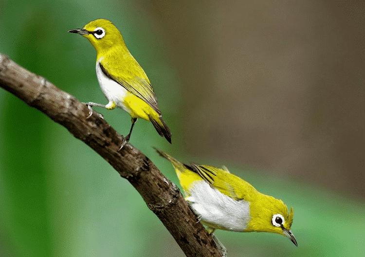 Ciri-ciri dan Karaktristik Dari Burung Pleci