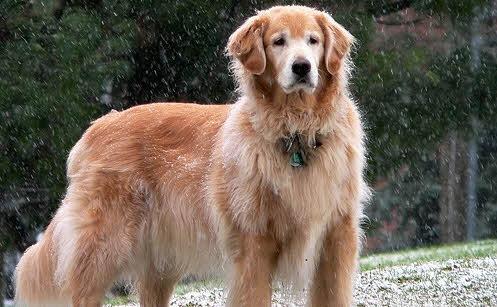 Ciri-ciri yang Dimiliki Anjing Golden