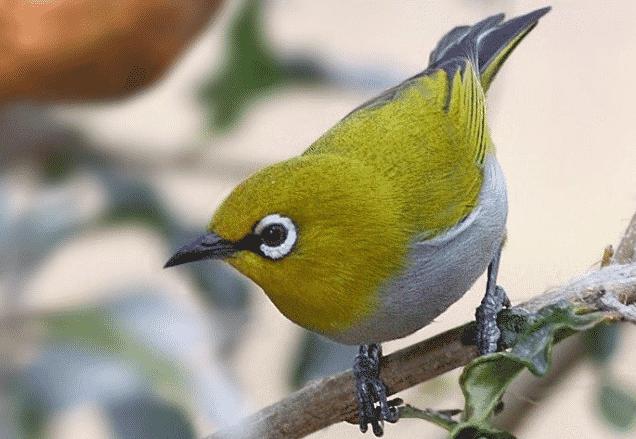Ciri yang Dimiliki Burung Pleci Jantan