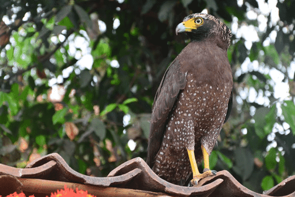 Burung Elang Cara Merawat Keunikan Ciri Ciri Dan Karakteristik