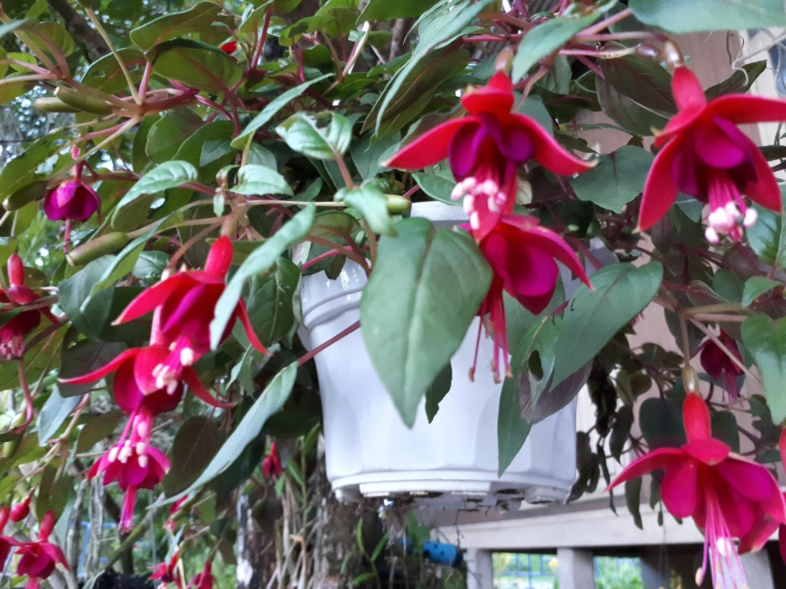 Kembang Anting-Anting atau Fusciha