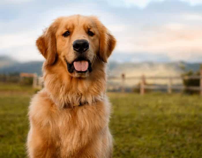 Masa Kawin untuk Anjing Golden