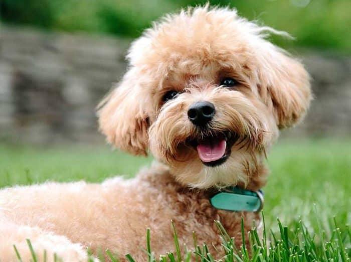 Masalah Kesehatan Pada Anjing Pudel