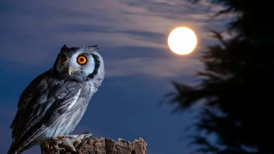 Burung Hantu Sejarah Mitos Fakta Ciri Ciri Jenis Dan Cara Merawatnya