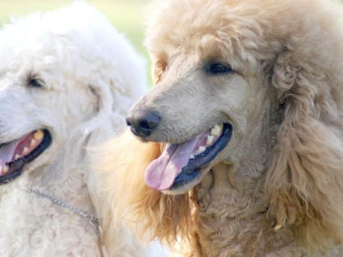 Perawatan Kandang Anjing Pudel