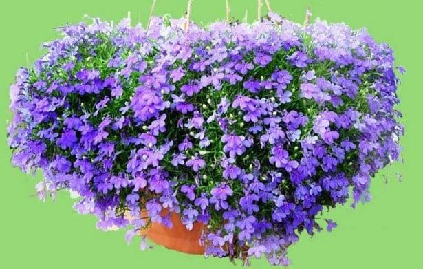 Ragam Cantik Bunga Lobelia