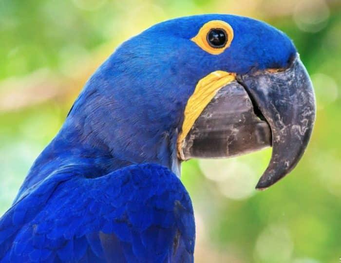 Sejarah atau Asal Usul Burung Beo