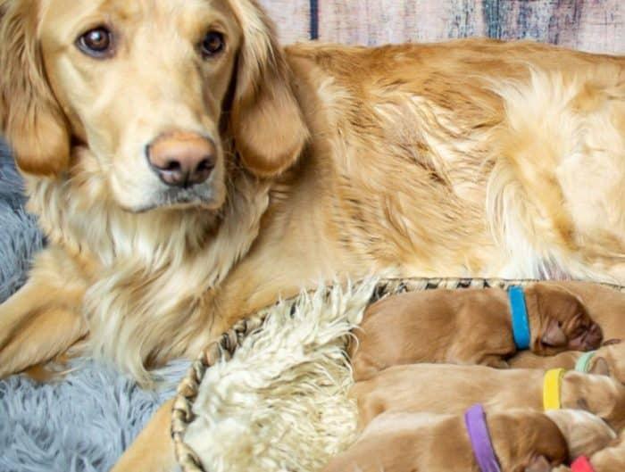 Syarat untuk Kandang Anjing Golden yang Sehat