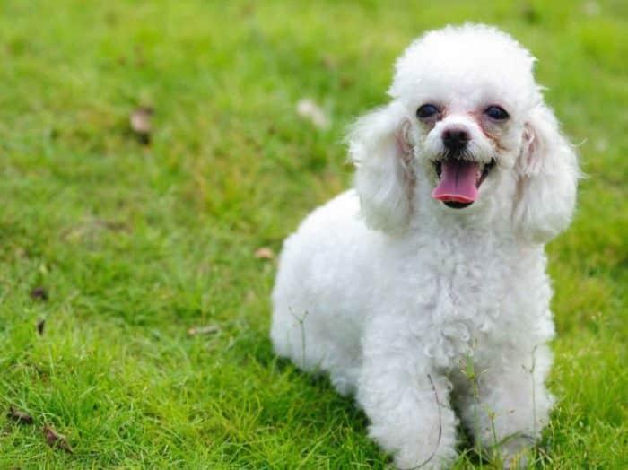 Tanda-Tanda Ingin Kawin Pada Anjing Pudel Jantan