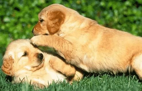 Tips Merawat Kandang Anjing Golden