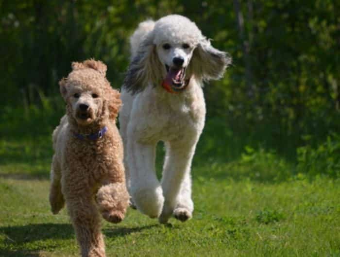 Variasi Jenis Anjing Pudel